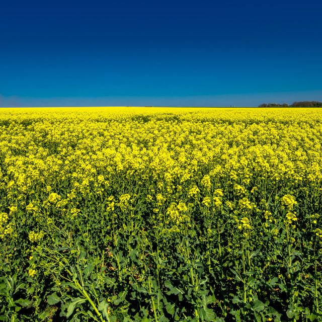"""Yellow Canola Field"" stock image"