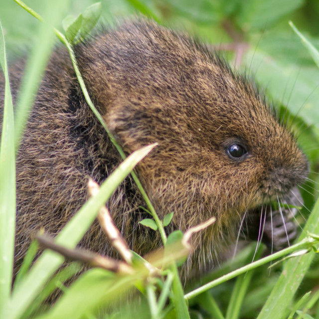"""Young Water Vole"" stock image"