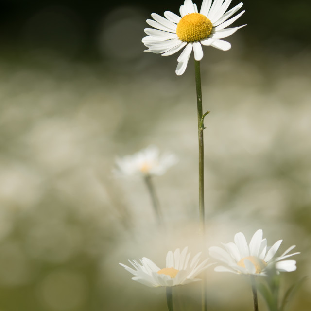 """Ox-Eye Daisy"" stock image"