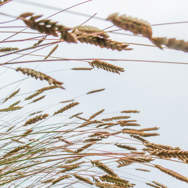"""Tall grass blowing in the wind"" stock image"