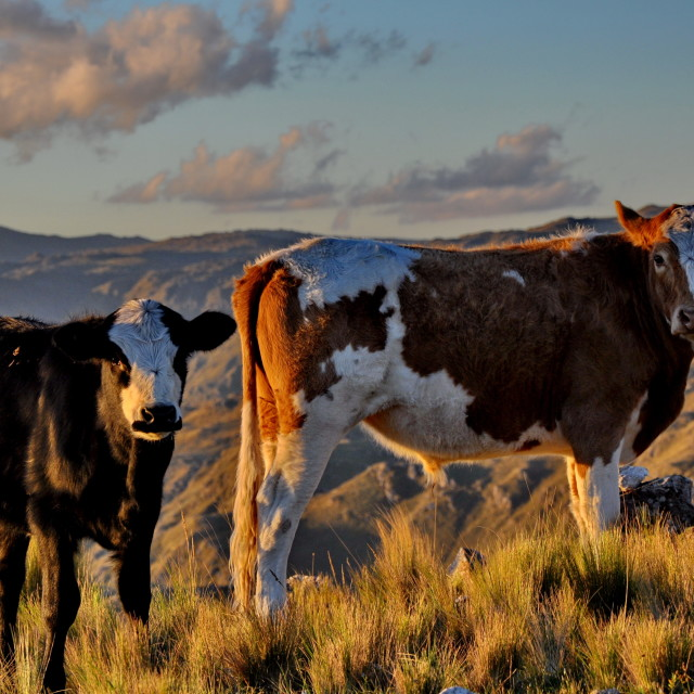 """""""Cows in the mountain"""" stock image"""