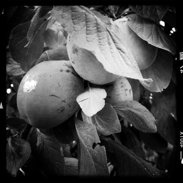 """Plant of Prunes"" stock image"