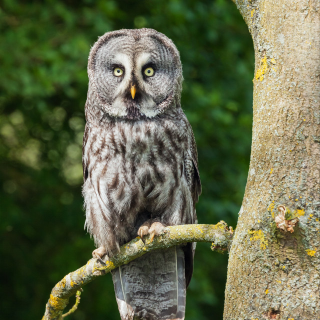 """Great Grey Owl biding its time"" stock image"