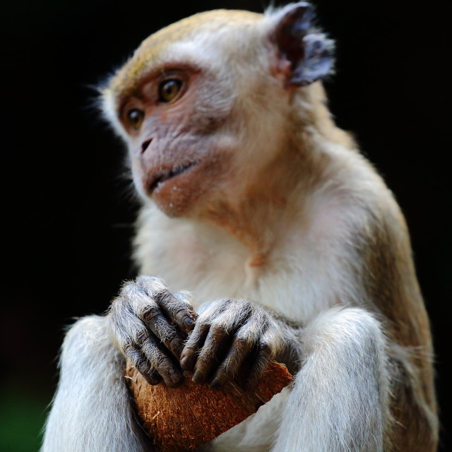 """Monkey with Coconut"" stock image"