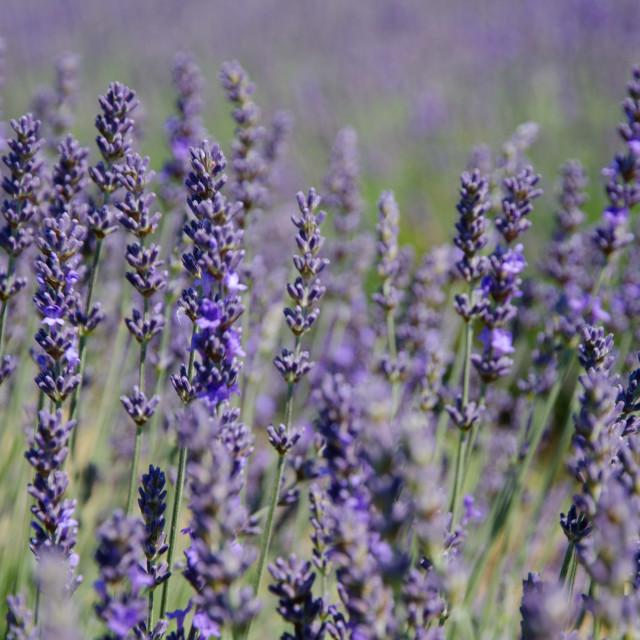 """Lavender"" stock image"