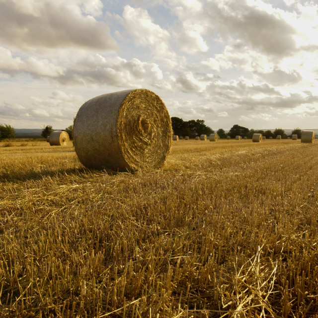 """""""sheaf of hay 2"""" stock image"""