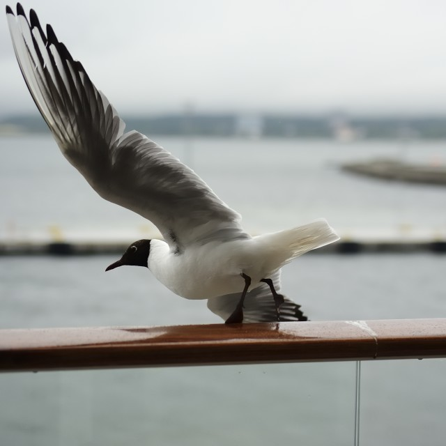 """Blackhead Gull"" stock image"