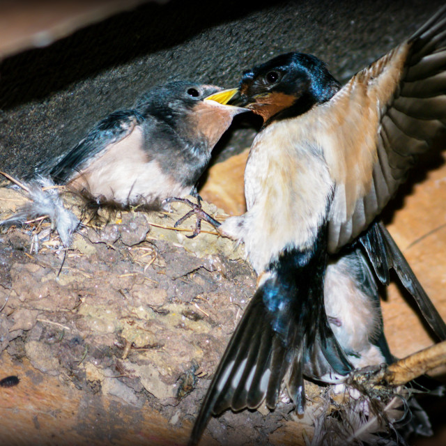 """""""Swallow feeds chick."""" stock image"""