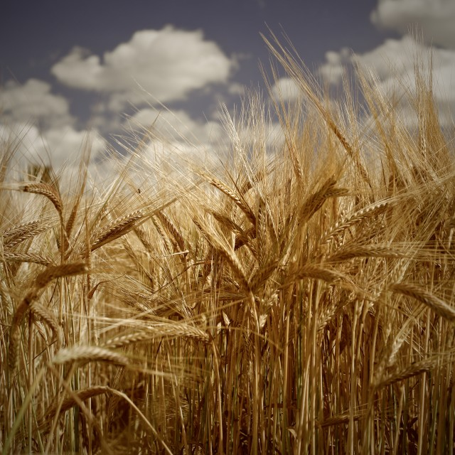 """Tall Barley Crop Plant Detail Sepia"" stock image"