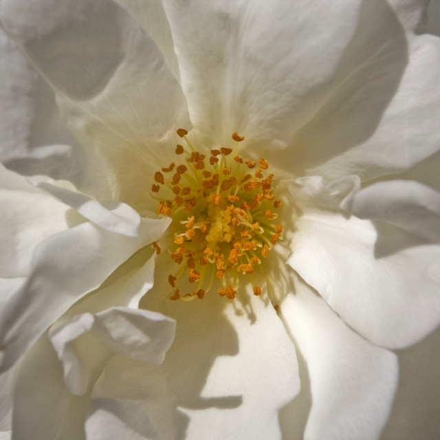 """""""White Rose - Light and Shade"""" stock image"""