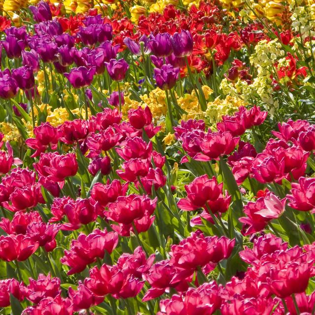 """""""Tulip Cascade"""" stock image"""