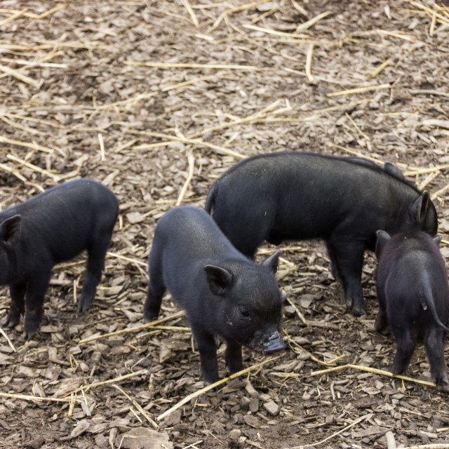 """Micro Piglets"" stock image"