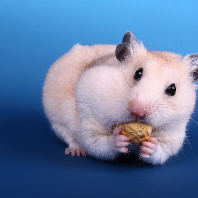 """Hamster eating"" stock image"