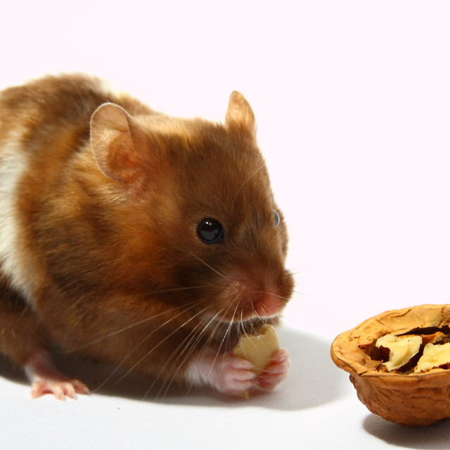 """Hamster eating wallnut"" stock image"