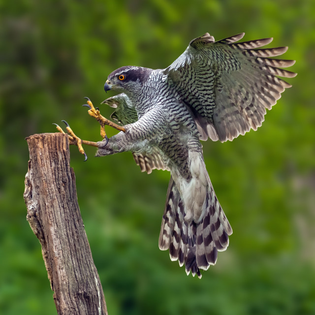 """Goshawk landing on a post"" stock image"