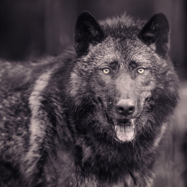 """Black Wolf"" stock image"