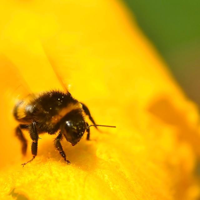 """""""The Bumblebee"""" stock image"""