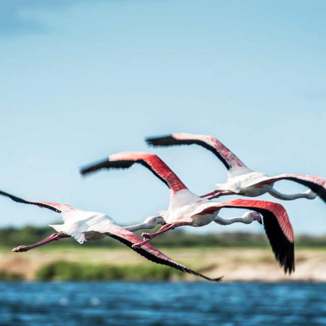 """""""Greater Flamingos in a wetland"""" stock image"""