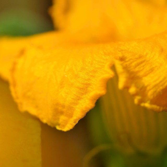 """The pumpkin flower 3"" stock image"