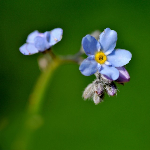 """""""Forget me not!"""" stock image"""