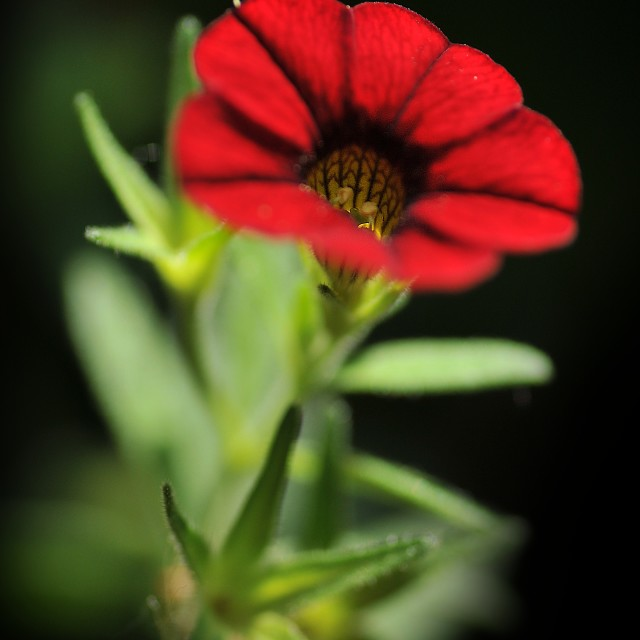 """""""the red flower"""" stock image"""