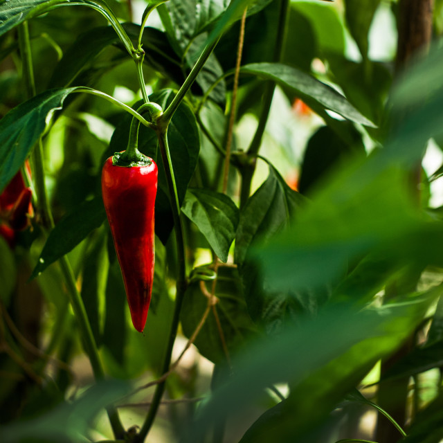 """Red Chili"" stock image"