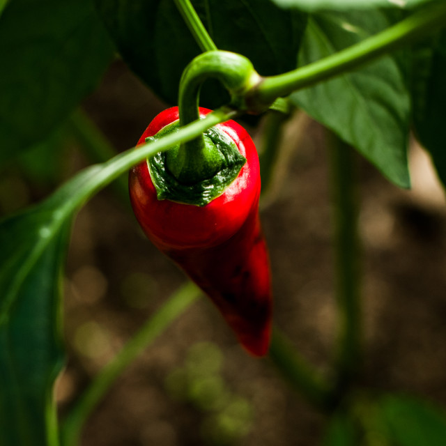"""Red Chili Closeup"" stock image"