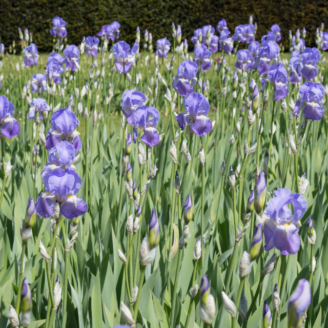"""Border of Blue Irises"" stock image"