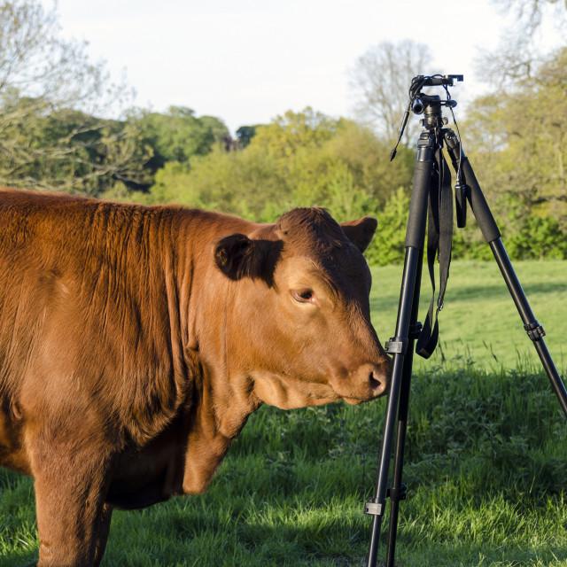 """""""Nosy cow."""" stock image"""