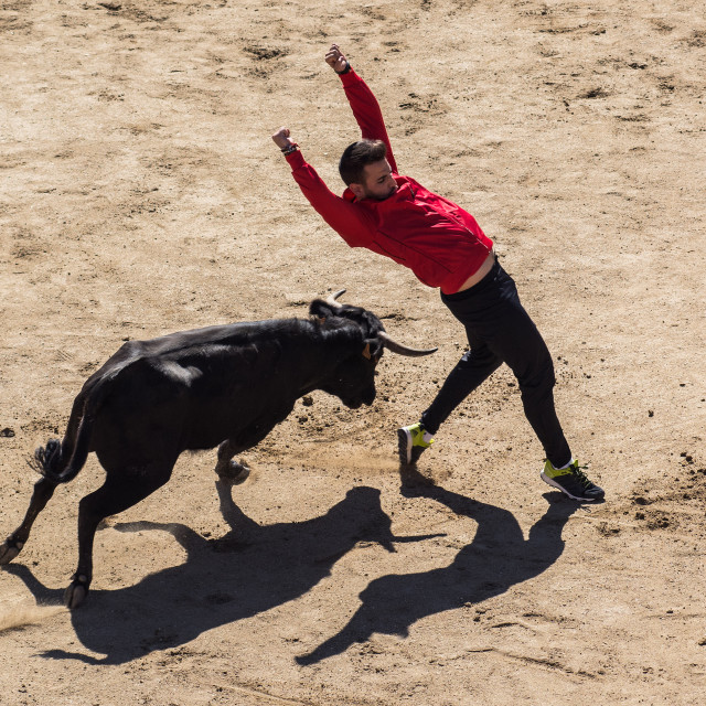 """Dancing with a bull"" stock image"