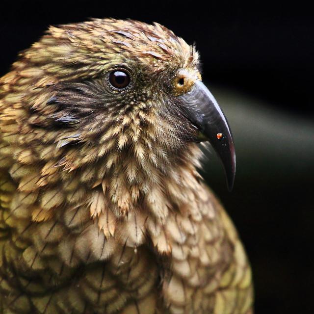 """Kea Mountain Parrot"" stock image"