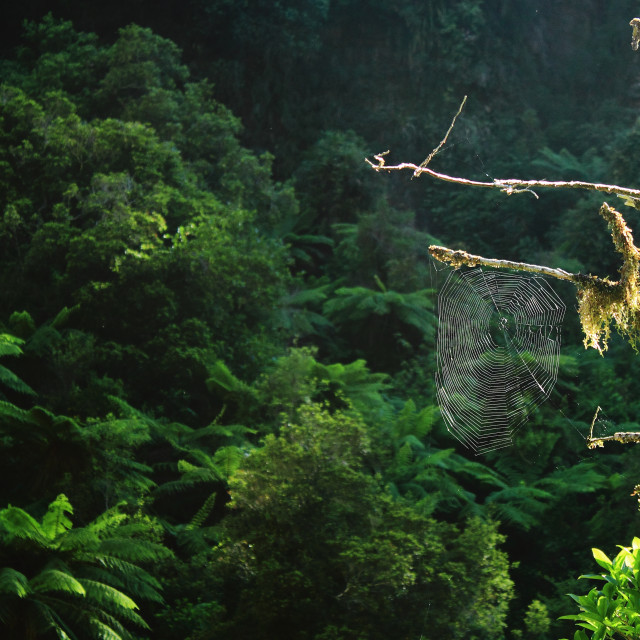 """Spider Web in Rainforest"" stock image"