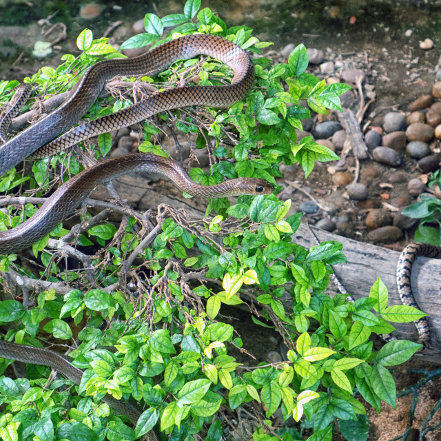 """Snake in Bush, Snake Farm, Bangkok"" stock image"