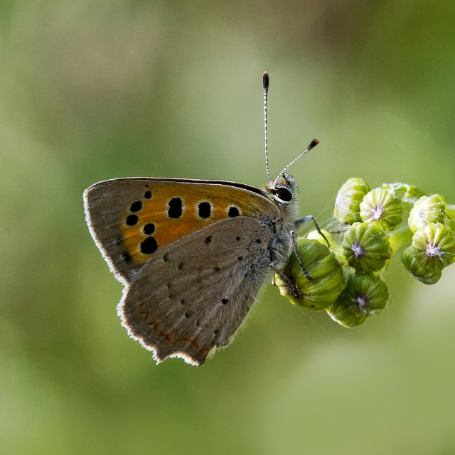 """Small Copper Butterfly (Lyceana phlaes) (II)"" stock image"