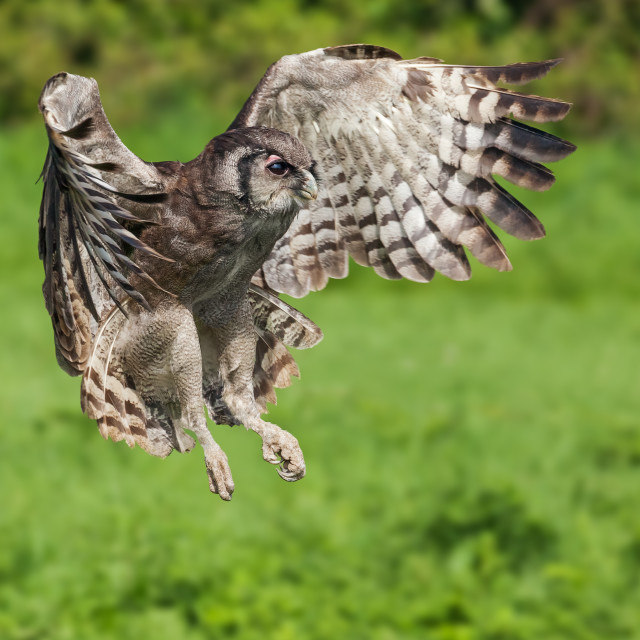 """Verraux's Eagle Owl flying by"" stock image"