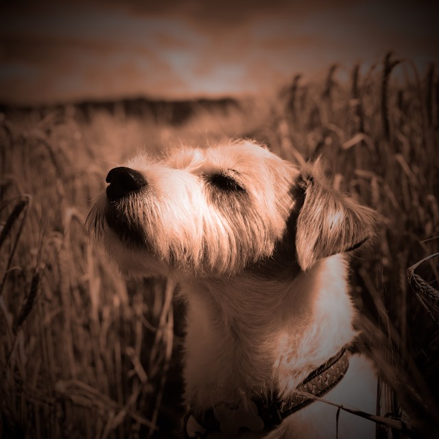 """""""Parson Russell Terrier in Barley Field Smelling the Air - Warm Tone"""" stock image"""