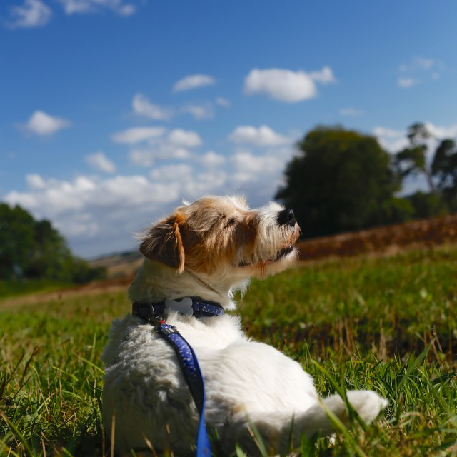 """Parson Russell Terrier Lying on Grass"" stock image"