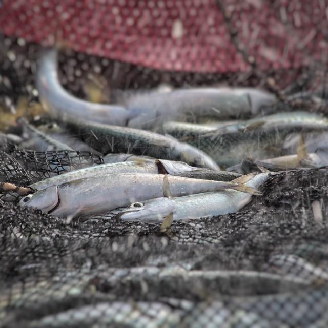 """Fresh fish"" stock image"