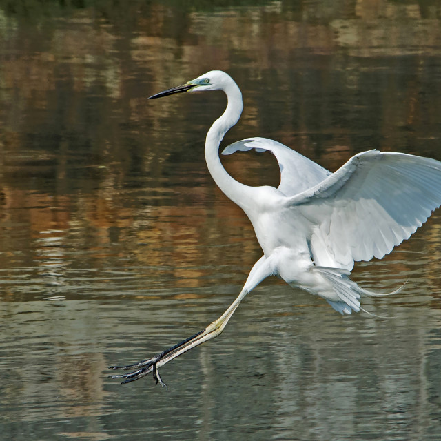 """Great White Egret (Ardea Alba)"" stock image"