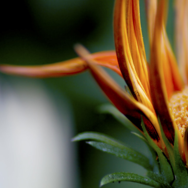 """Orange flower"" stock image"