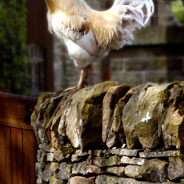 """Cockerel on a Derbyshire wall"" stock image"