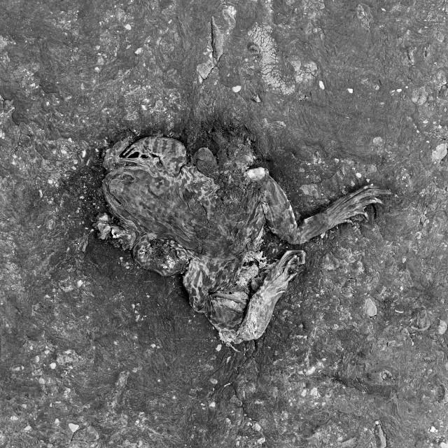 """Flat Frog Road Texture Squashed Black White"" stock image"