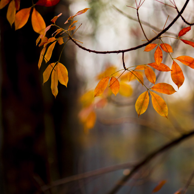 """Orange Autumn Leaves"" stock image"