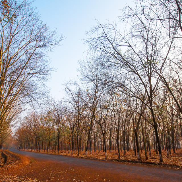 """""""Road in the rubber forest"""" stock image"""