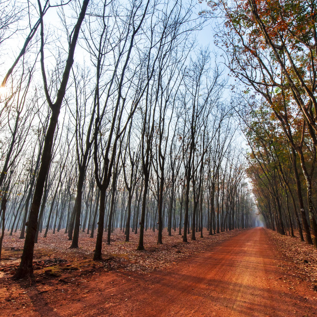 """Road in the rubber forest"" stock image"