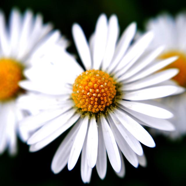 """""""Common daisies"""" stock image"""