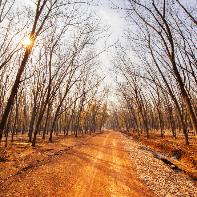 """The nice road in rubber forest"" stock image"