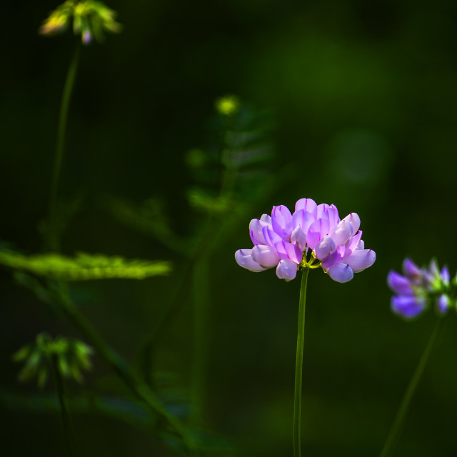 """PURPLE CROWN VETCH"" stock image"