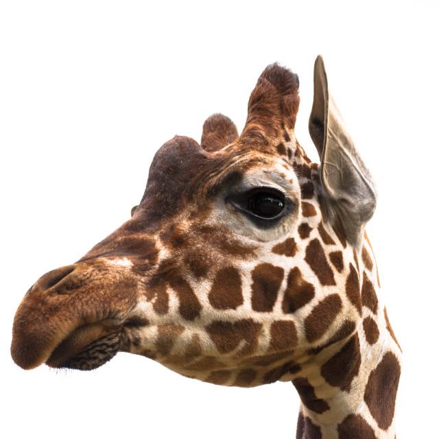 """Giraffe, white sky 1"" stock image"