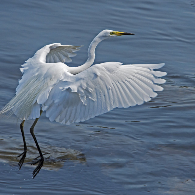 """Great White Egret (Ardea alba) (XIV)"" stock image"